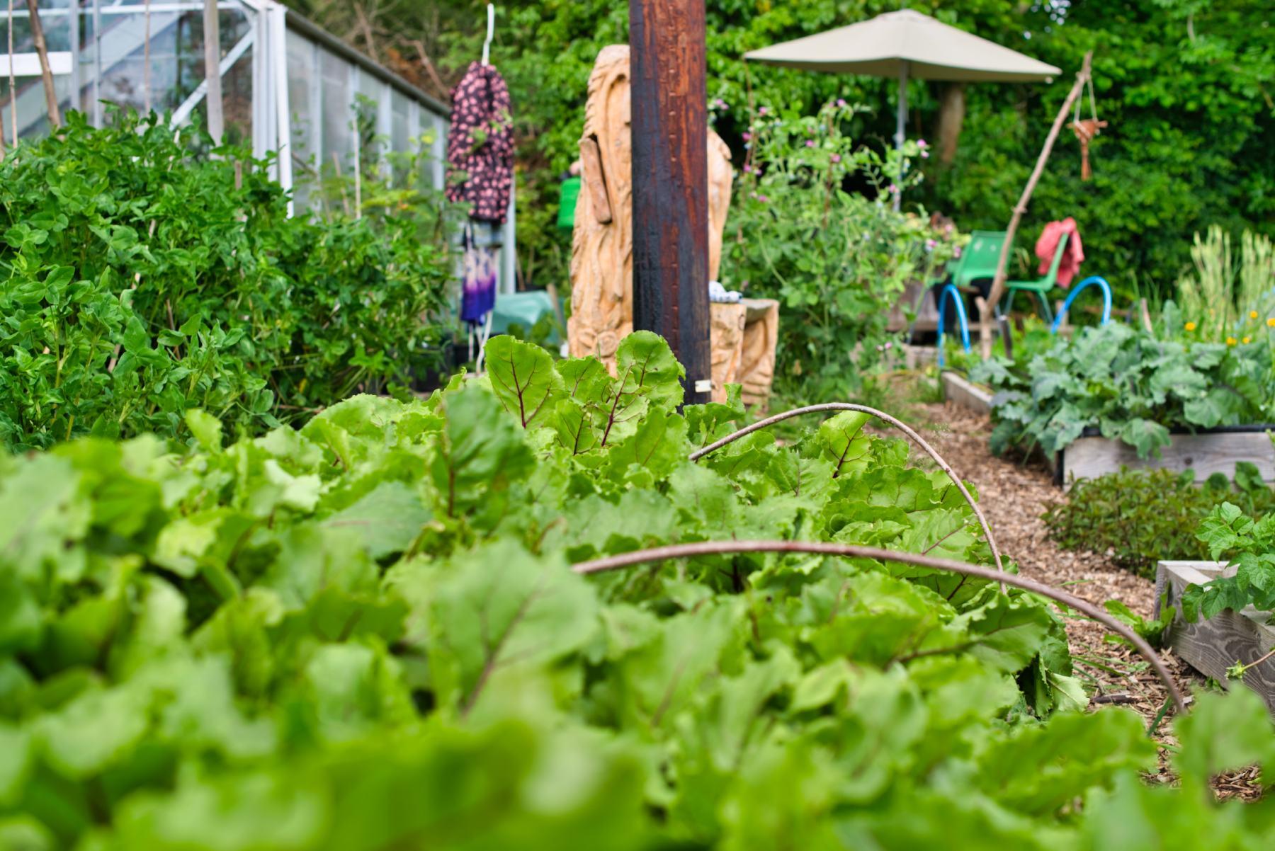 Beetroot in the Community Garden